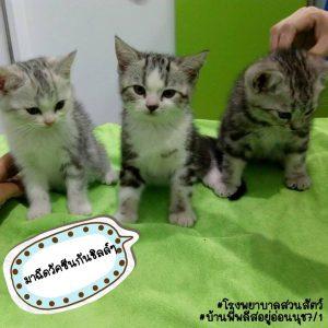 ลูกแมวน้อยรอคุณหมอฉีดวัคซีนเข็มแรก